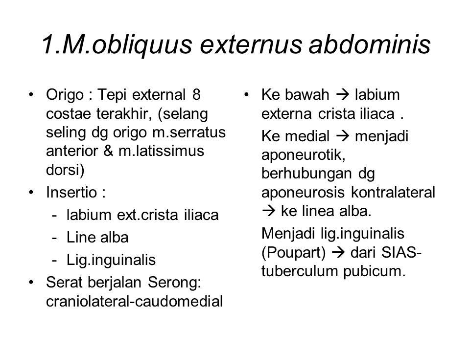 1.M.obliquus externus abdominis