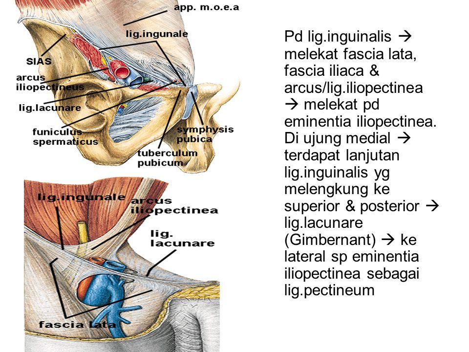 Pd lig. inguinalis  melekat fascia lata, fascia iliaca & arcus/lig
