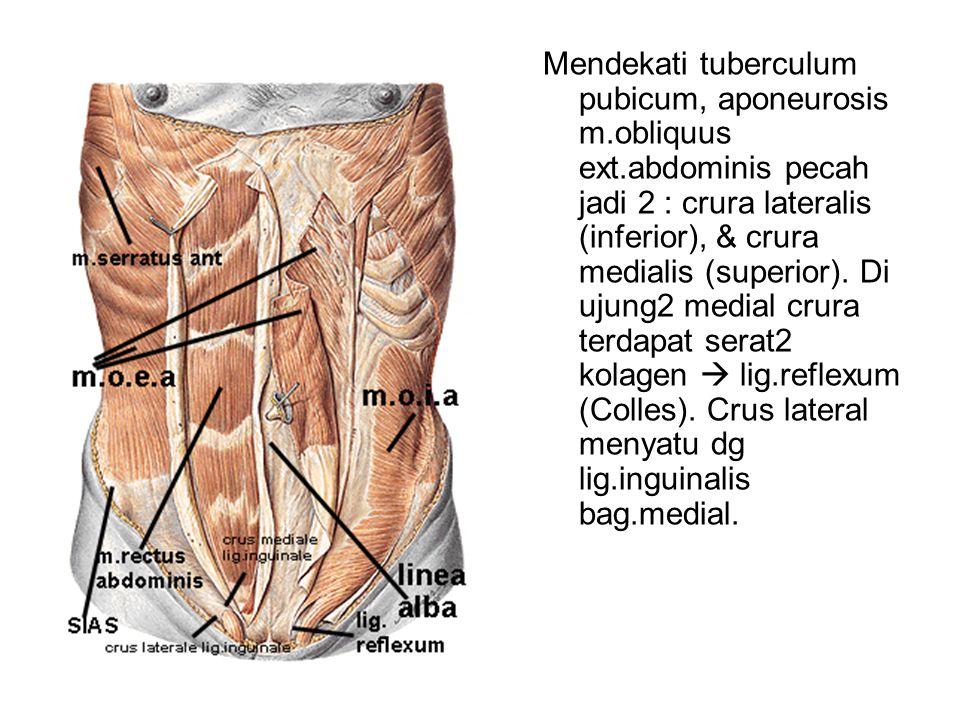 Mendekati tuberculum pubicum, aponeurosis m. obliquus ext