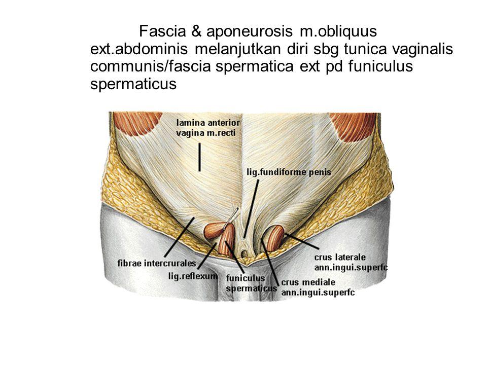 Fascia & aponeurosis m. obliquus ext