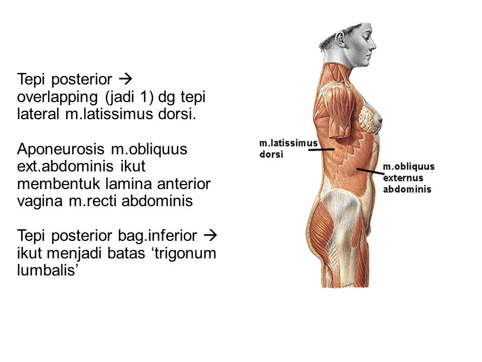 Tepi posterior  overlapping (jadi 1) dg tepi lateral m