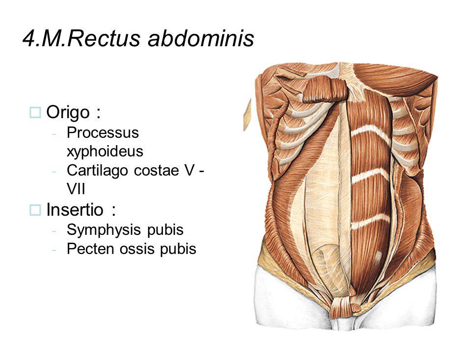4.M.Rectus abdominis Origo : Insertio : Processus xyphoideus