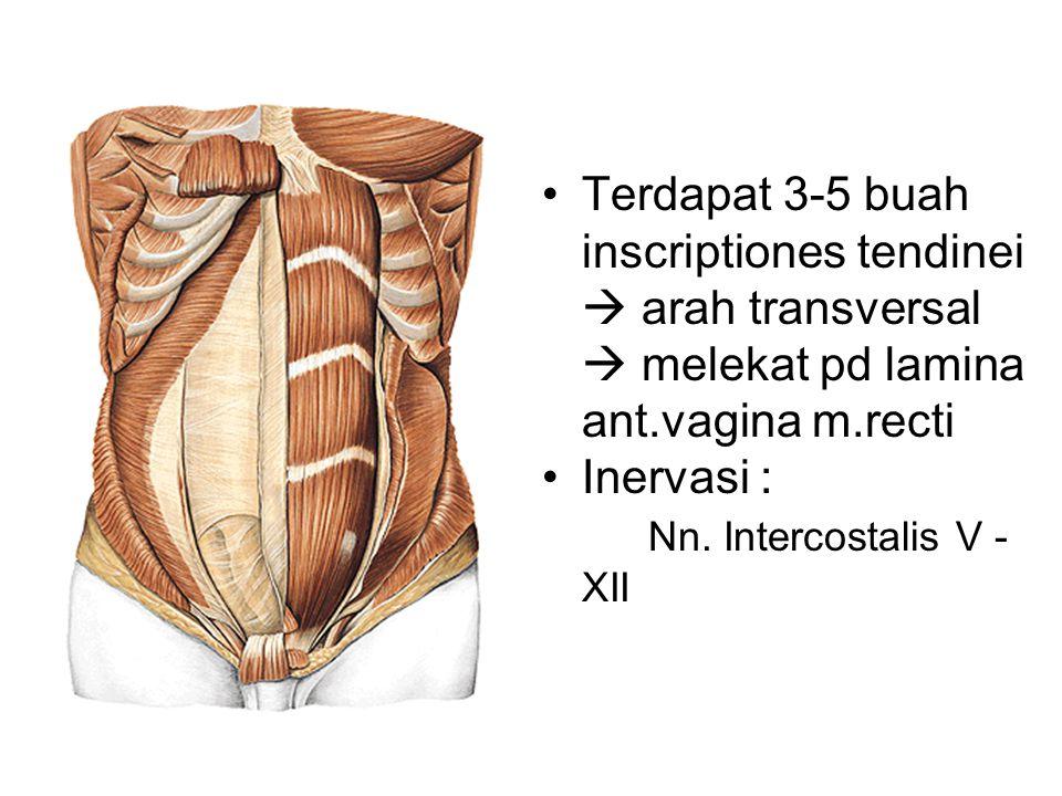 Terdapat 3-5 buah inscriptiones tendinei  arah transversal  melekat pd lamina ant.vagina m.recti