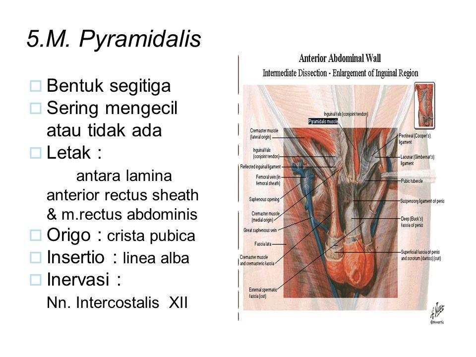 5.M. Pyramidalis Bentuk segitiga Sering mengecil atau tidak ada