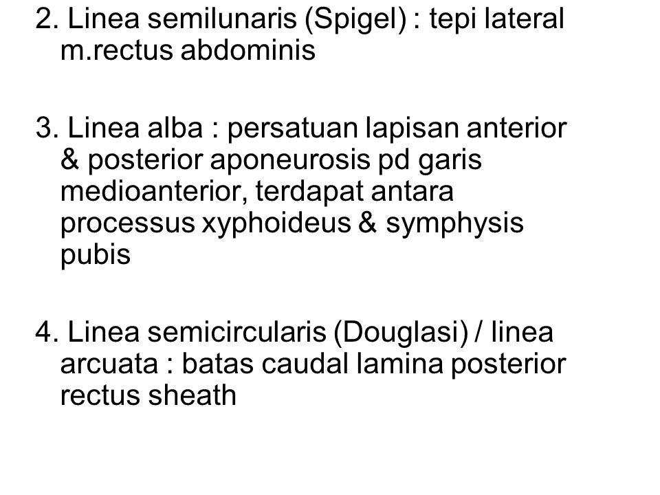 2. Linea semilunaris (Spigel) : tepi lateral m.rectus abdominis
