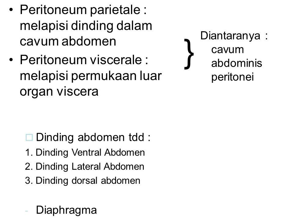 } Peritoneum parietale : melapisi dinding dalam cavum abdomen