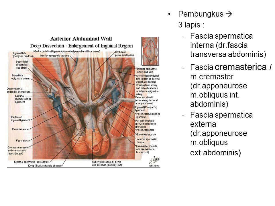 Pembungkus  3 lapis : Fascia spermatica interna (dr.fascia transversa abdominis)