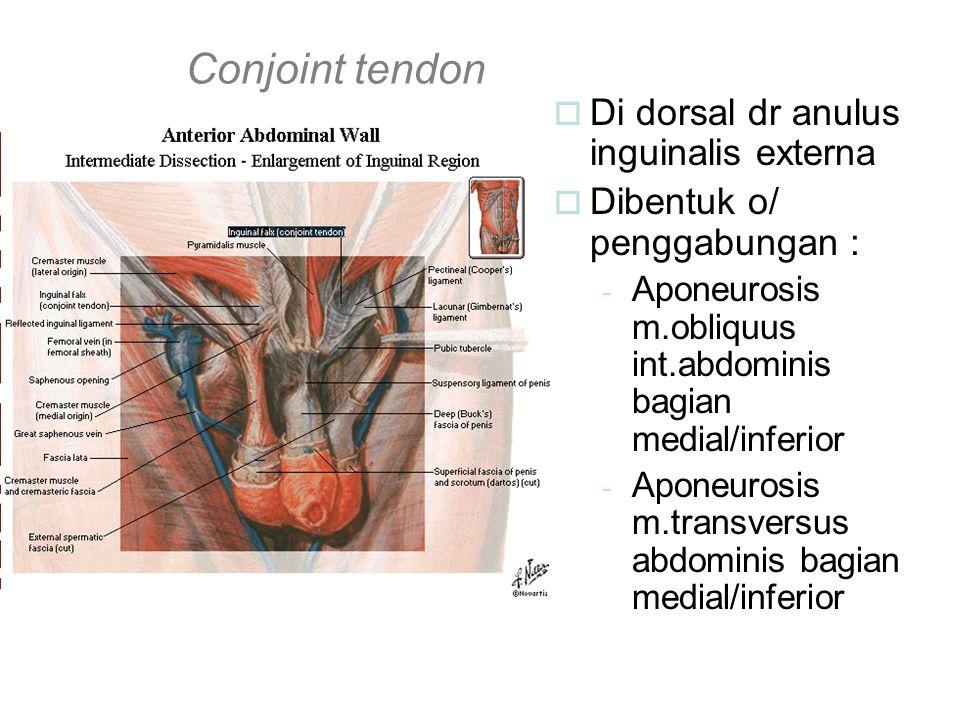 Conjoint tendon Di dorsal dr anulus inguinalis externa