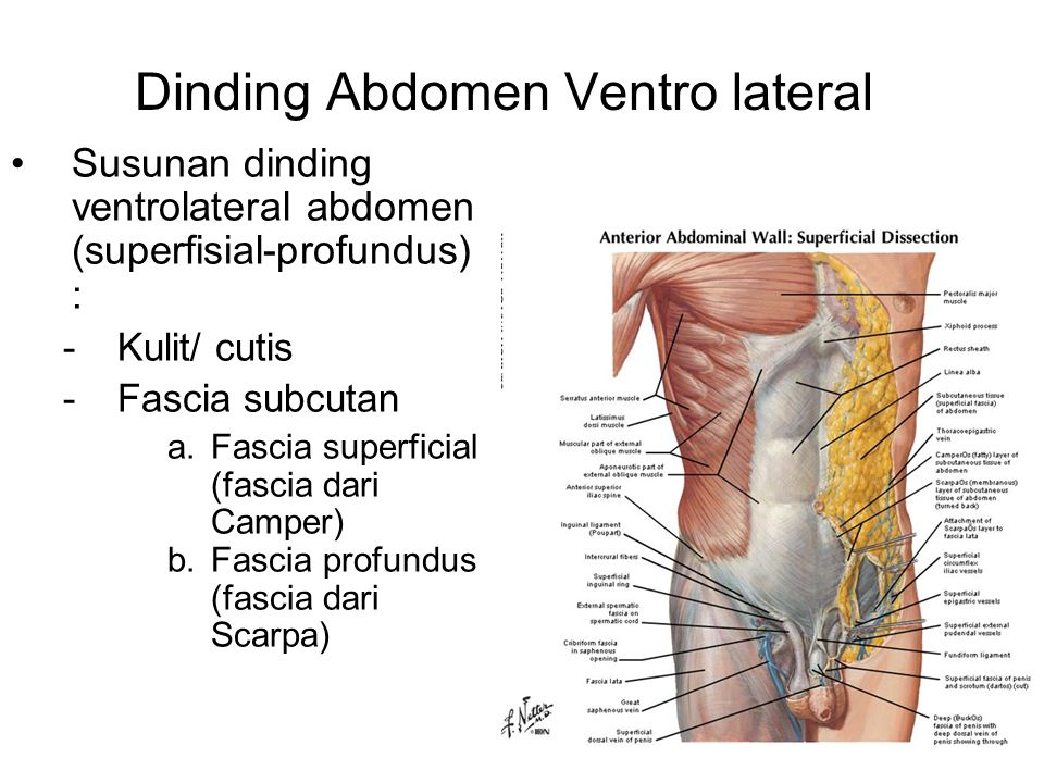 Dinding Abdomen Ventro lateral