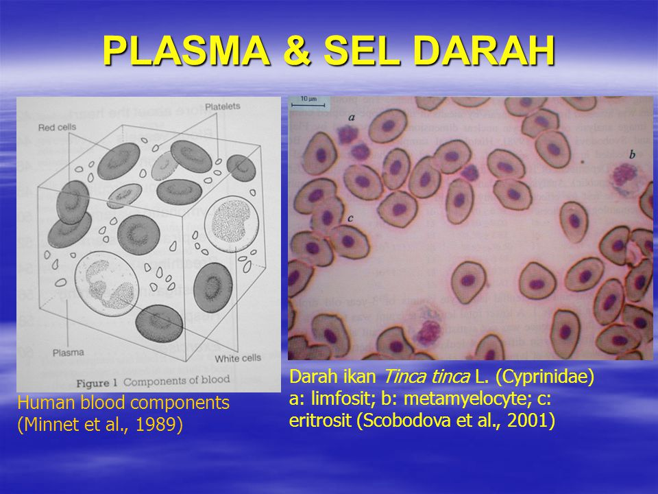 PLASMA & SEL DARAH Darah ikan Tinca tinca L. (Cyprinidae)