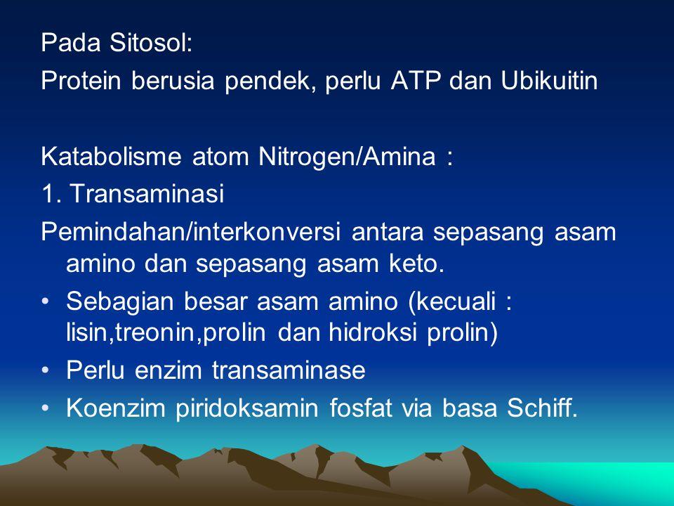 Pada Sitosol: Protein berusia pendek, perlu ATP dan Ubikuitin. Katabolisme atom Nitrogen/Amina : 1. Transaminasi.