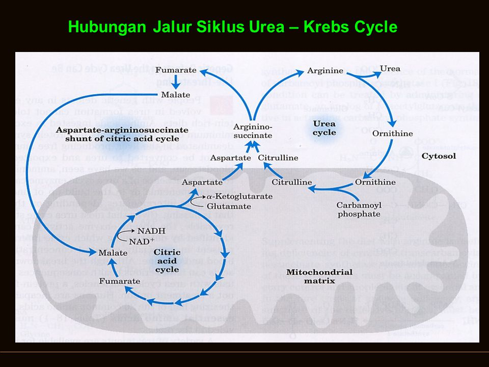 Hubungan Jalur Siklus Urea – Krebs Cycle