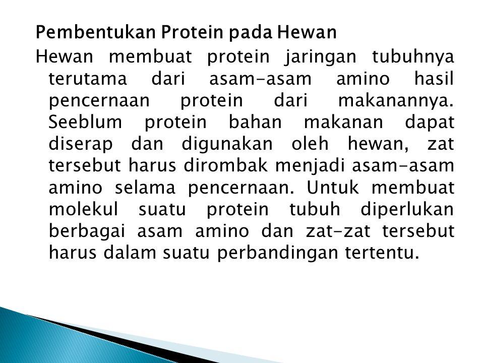 Pembentukan Protein pada Hewan Hewan membuat protein jaringan tubuhnya terutama dari asam-asam amino hasil pencernaan protein dari makanannya.
