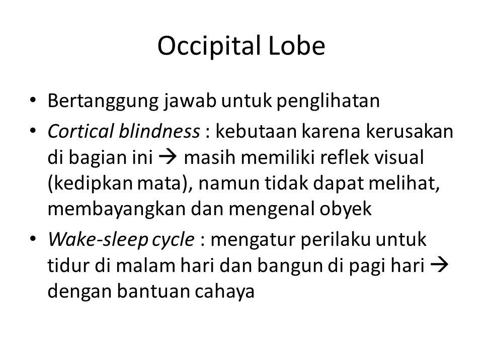Occipital Lobe Bertanggung jawab untuk penglihatan