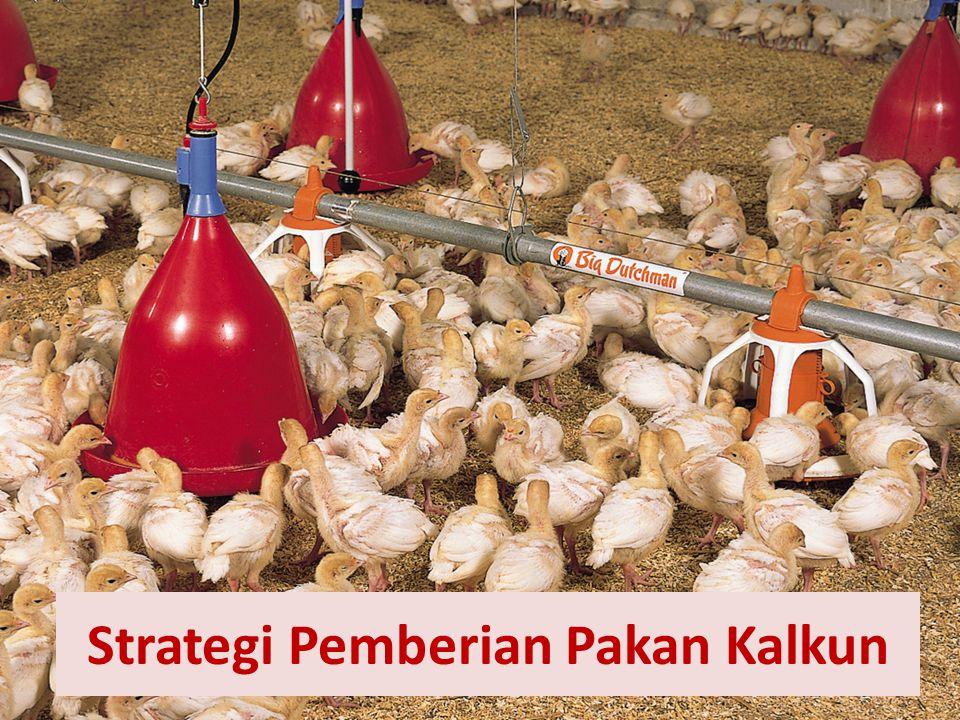 Strategi Pemberian Pakan Kalkun