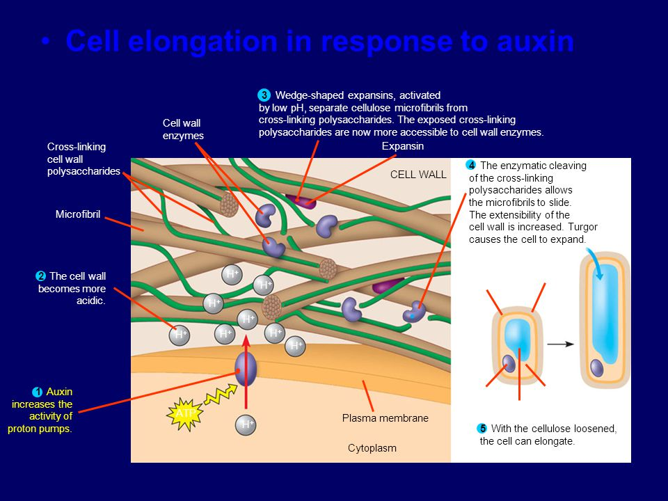 Cell elongation in response to auxin