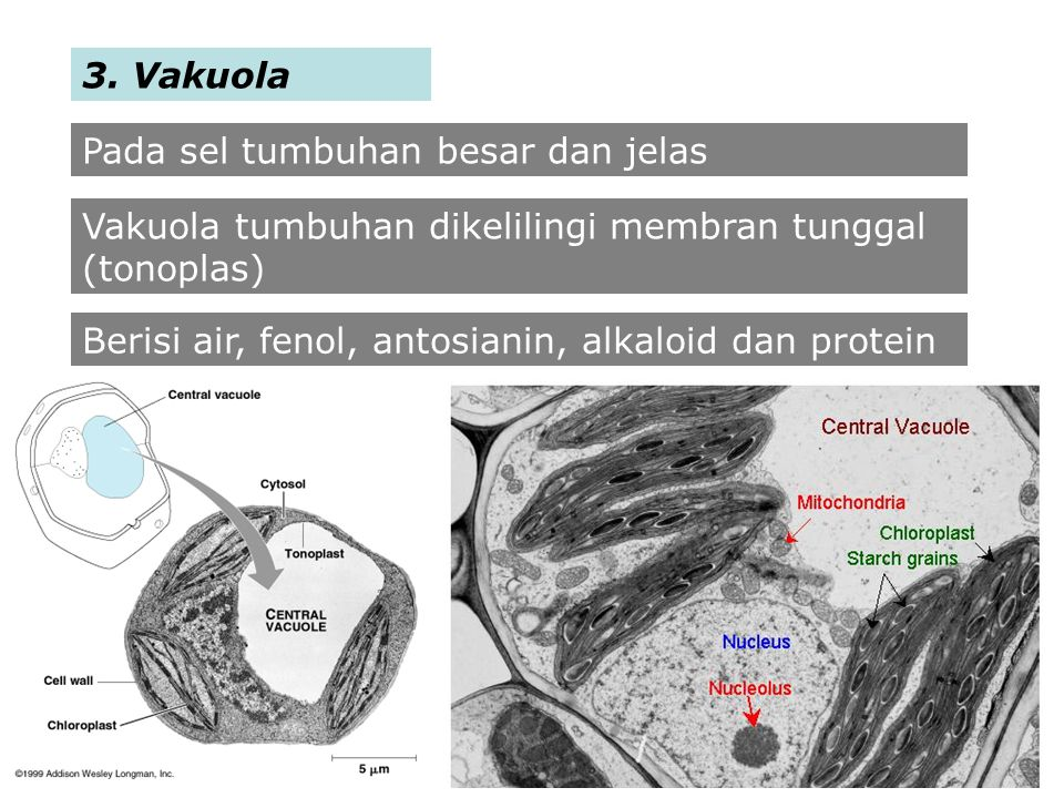 3. Vakuola Pada sel tumbuhan besar dan jelas. Vakuola tumbuhan dikelilingi membran tunggal (tonoplas)