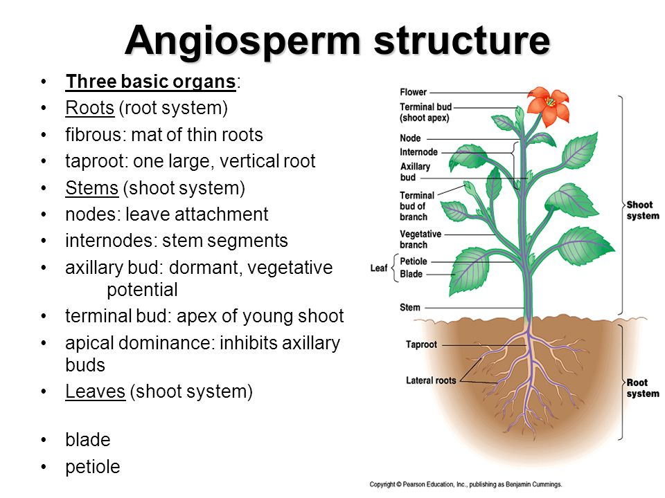Angiosperm structure Three basic organs: Roots (root system)