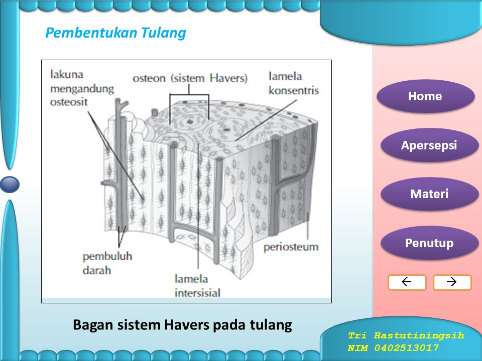Bagan sistem Havers pada tulang