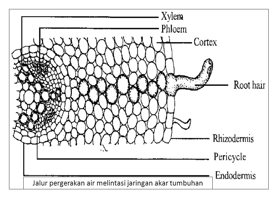 Jalur pergerakan air melintasi jaringan akar tumbuhan