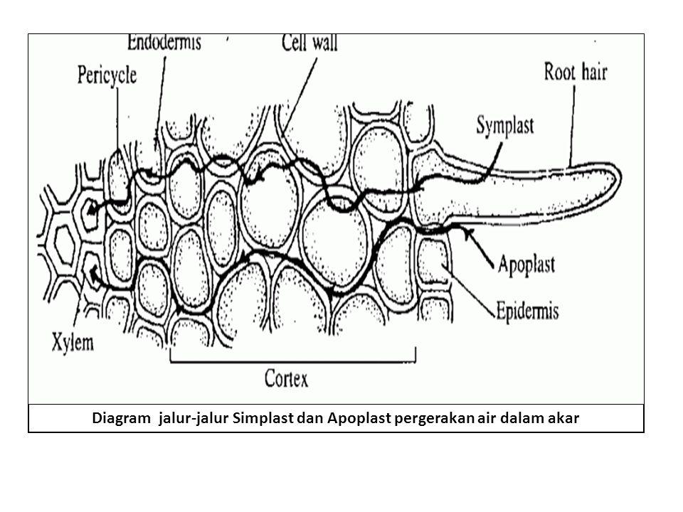 Diagram jalur-jalur Simplast dan Apoplast pergerakan air dalam akar
