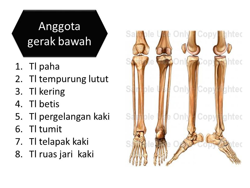 Anggota gerak bawah Tl paha Tl tempurung lutut Tl kering Tl betis