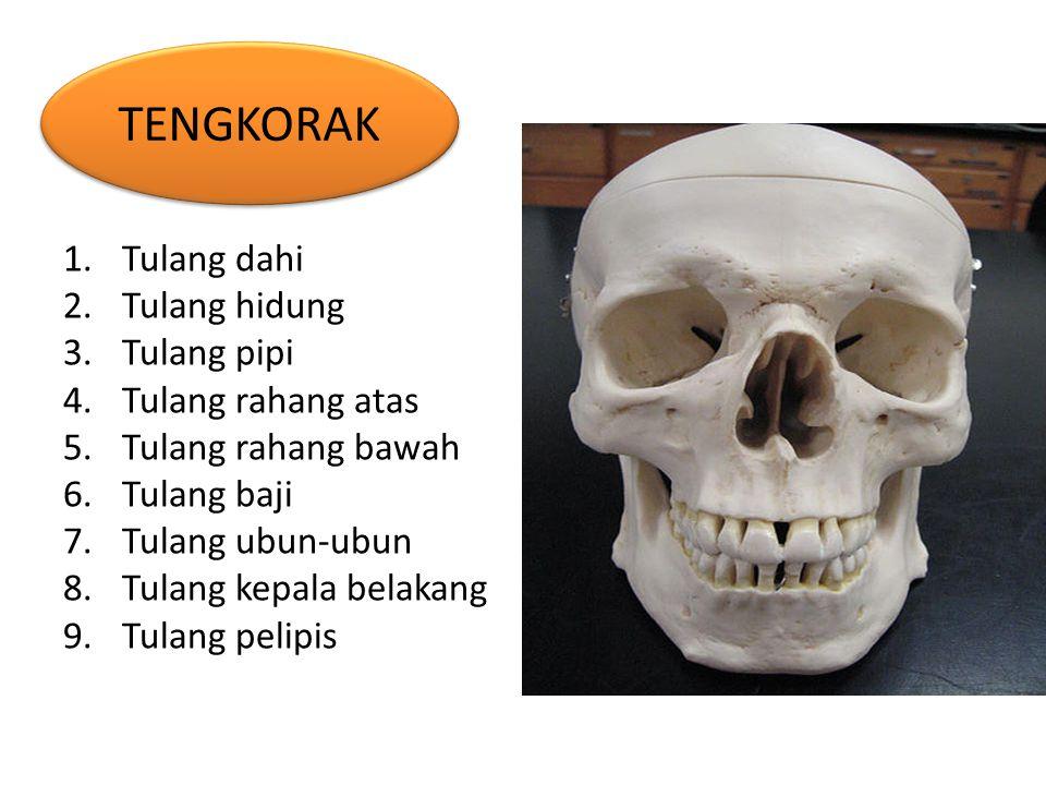 TENGKORAK Tulang dahi Tulang hidung Tulang pipi Tulang rahang atas