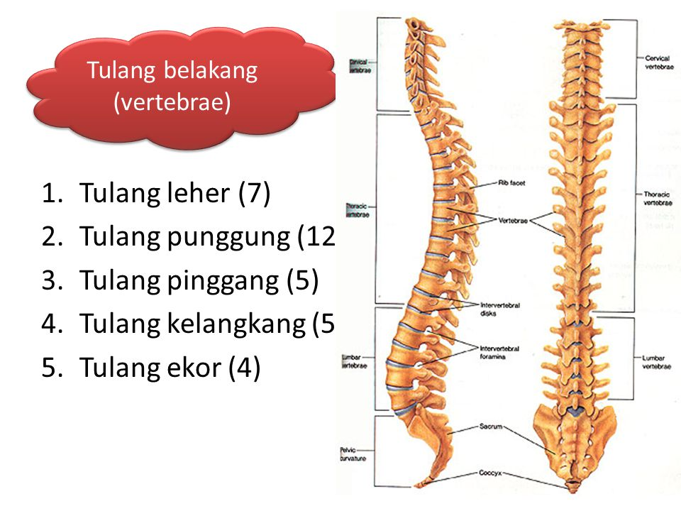 Tulang belakang (vertebrae)