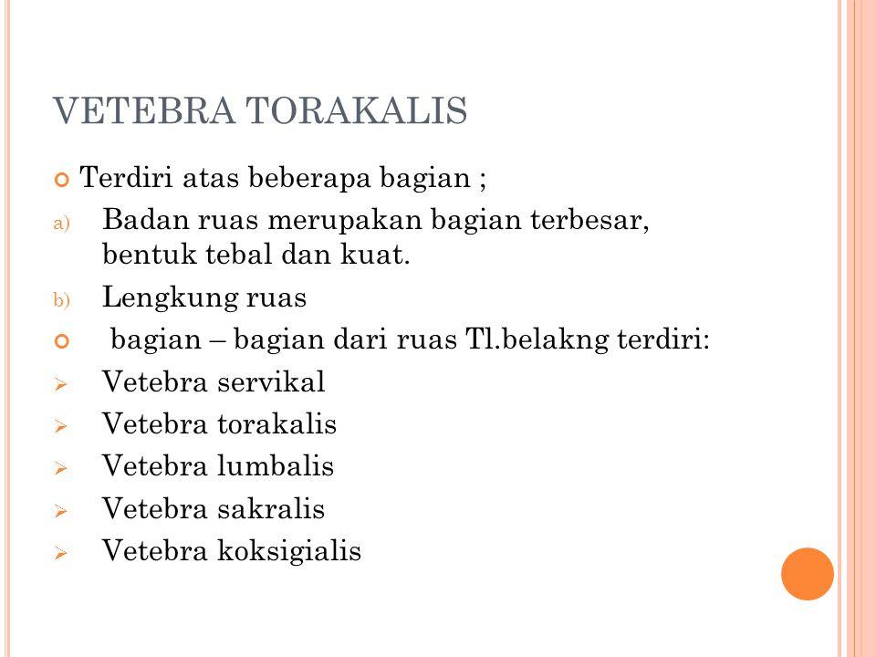 VETEBRA TORAKALIS Terdiri atas beberapa bagian ;