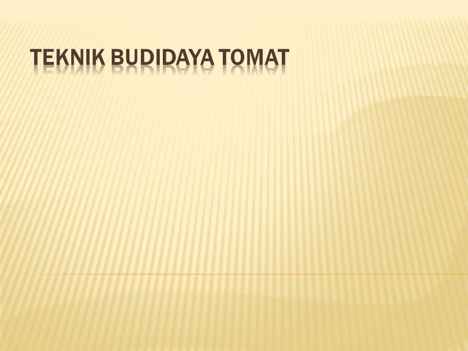 TEKNIK BUDIDAYA TOMAT