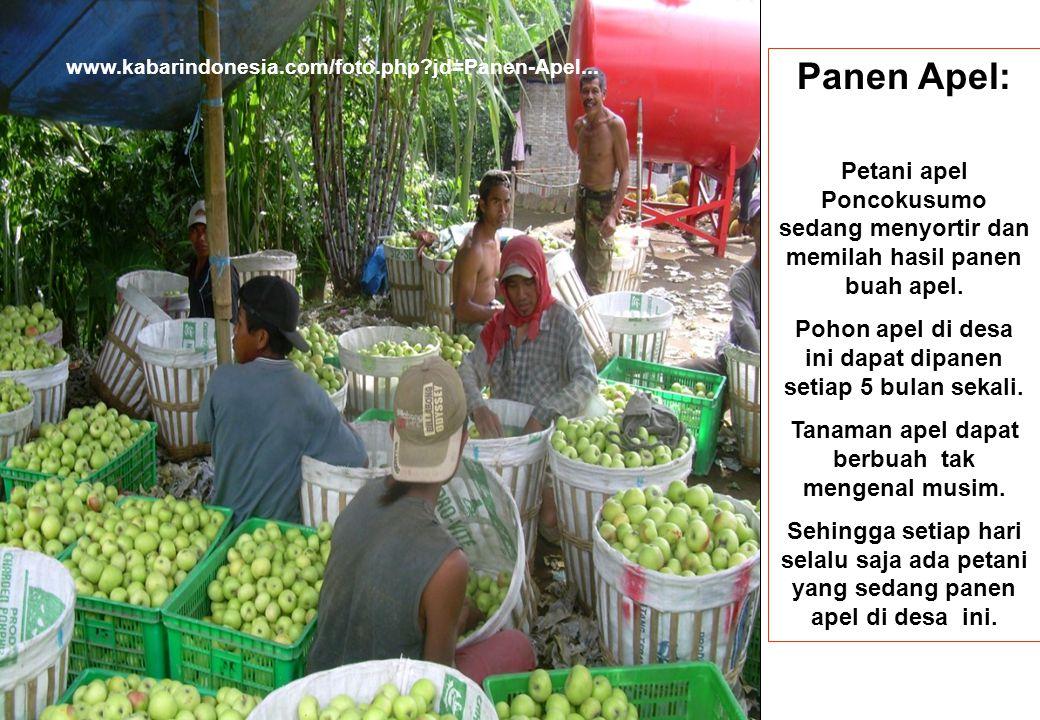 www.kabarindonesia.com/foto.php jd=Panen-Apel... Panen Apel: Petani apel Poncokusumo sedang menyortir dan memilah hasil panen buah apel.