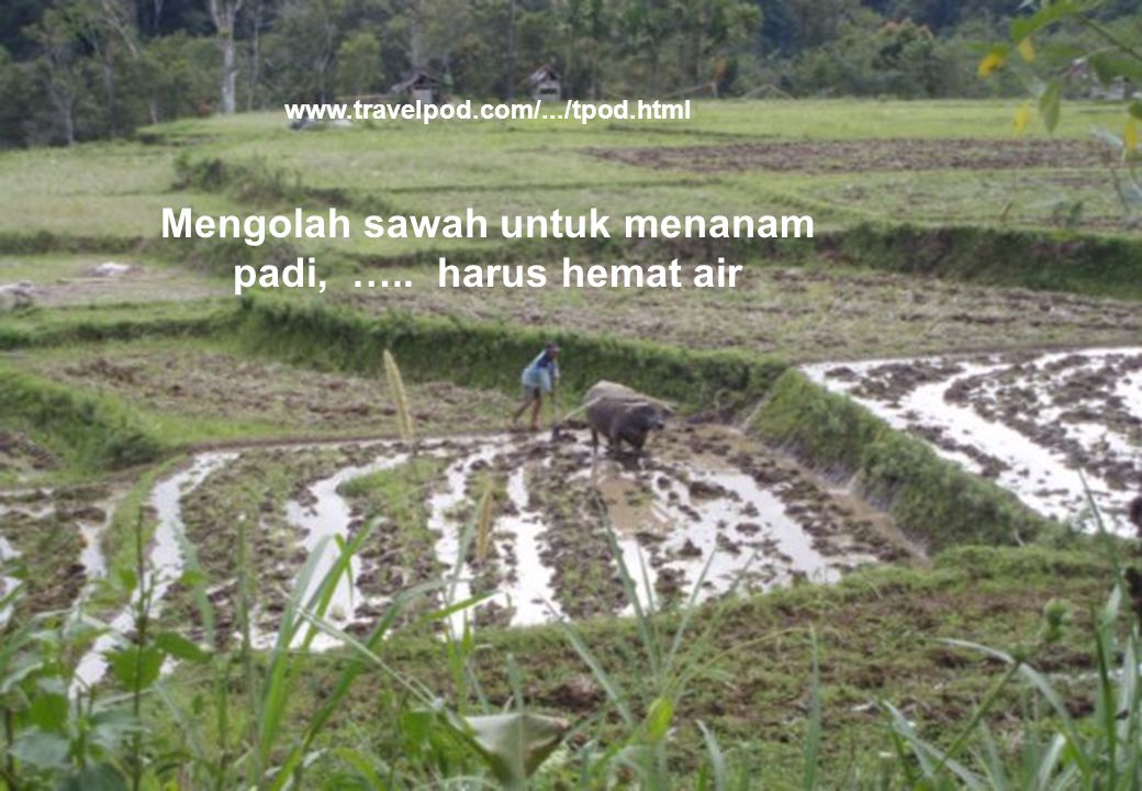 Mengolah sawah untuk menanam padi, ….. harus hemat air