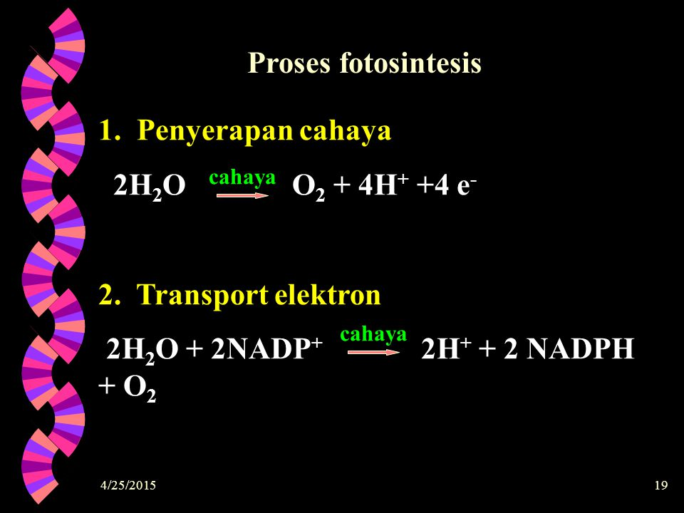 Proses fotosintesis 1. Penyerapan cahaya 2H2O O2 + 4H+ +4 e-