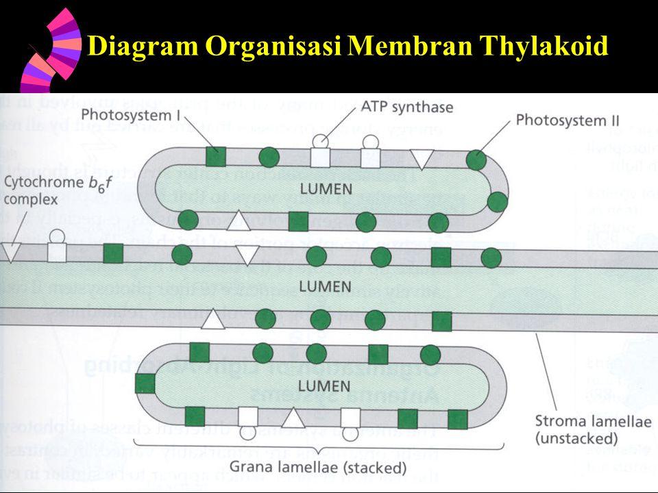 Diagram Organisasi Membran Thylakoid