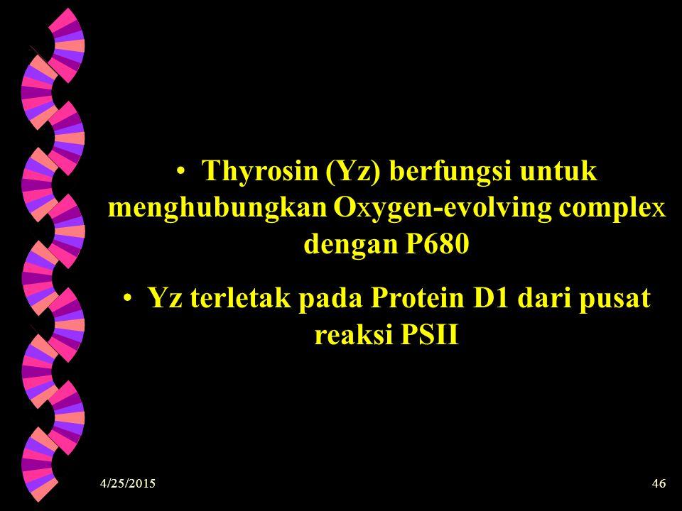 Yz terletak pada Protein D1 dari pusat reaksi PSII