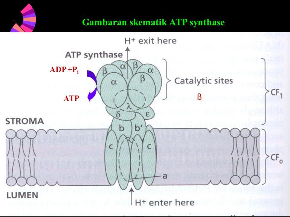 Gambaran skematik ATP synthase