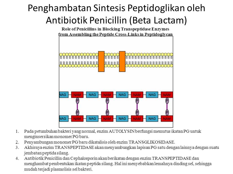 Penghambatan Sintesis Peptidoglikan oleh Antibiotik Penicillin (Beta Lactam)