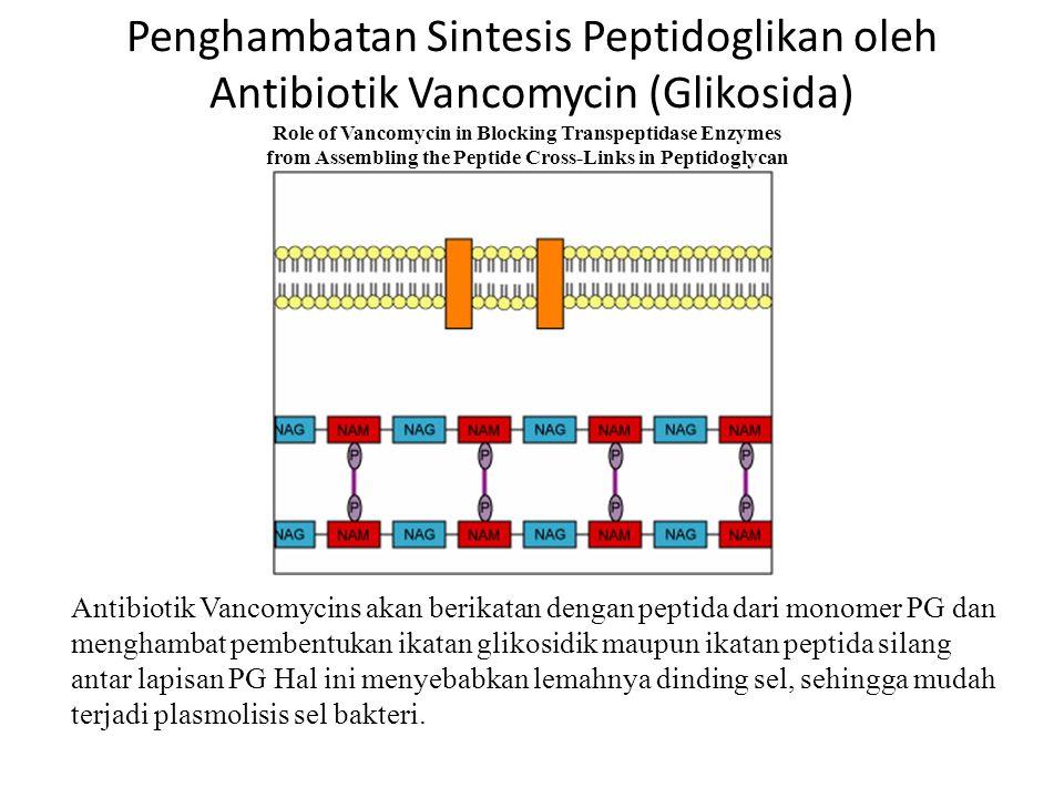 Penghambatan Sintesis Peptidoglikan oleh Antibiotik Vancomycin (Glikosida)
