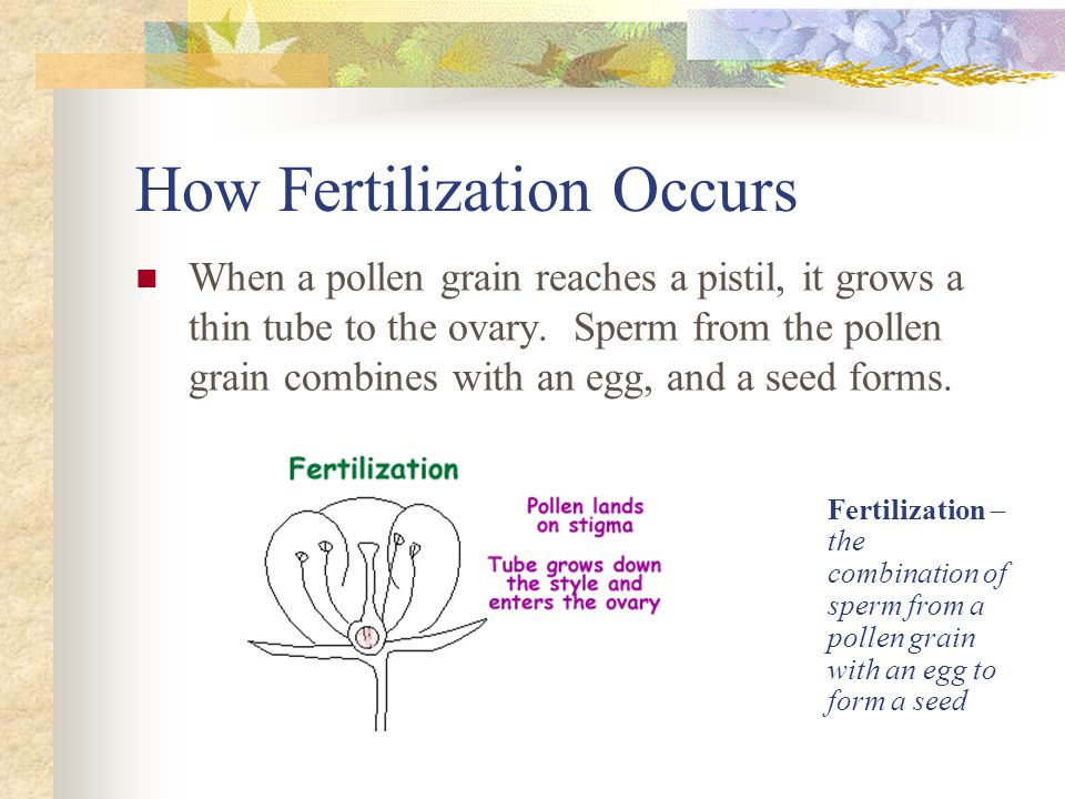 How Fertilization Occurs