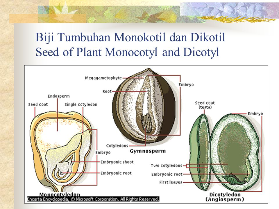 Biji Tumbuhan Monokotil dan Dikotil Seed of Plant Monocotyl and Dicotyl