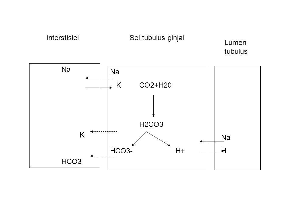 interstisiel Sel tubulus ginjal. Lumen tubulus. Na. K. HCO3. Na. K CO2+H20. H2CO3. HCO3- H+