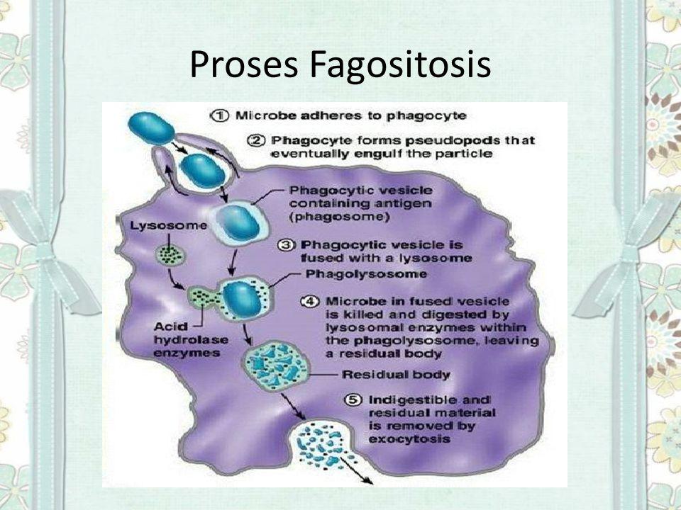 Proses Fagositosis