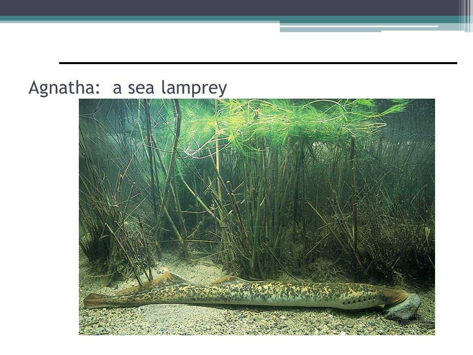 Agnatha: a sea lamprey