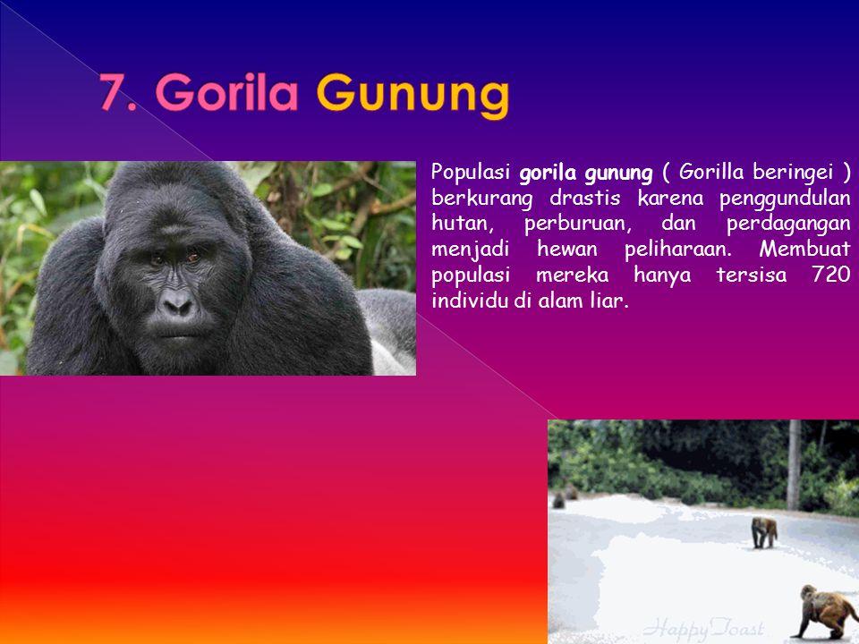 7. Gorila Gunung