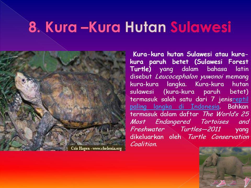 8. Kura –Kura Hutan Sulawesi