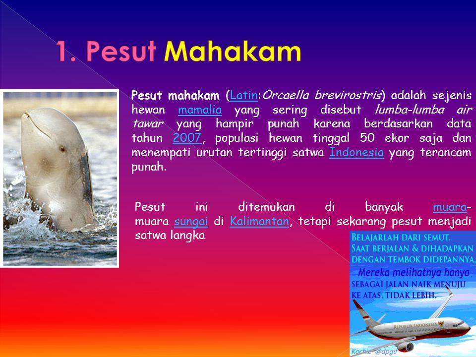1. Pesut Mahakam