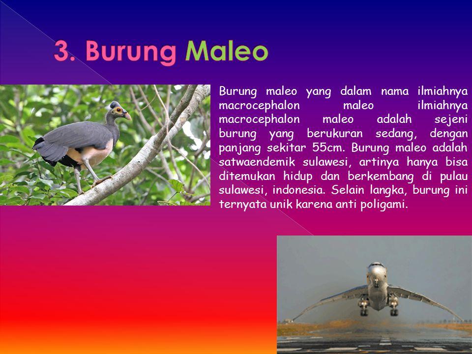 3. Burung Maleo