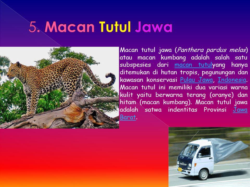 5. Macan Tutul Jawa