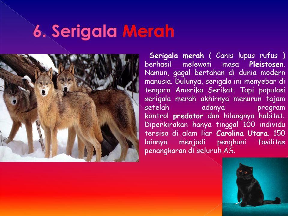 6. Serigala Merah