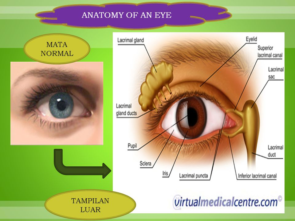 ANATOMY OF AN EYE MATA NORMAL TAMPILAN LUAR